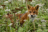 A Red Fox on Atlasova Island in the Sea of Okhotsk Fotografisk tryk af Raul Touzon