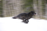 Blurred Motion View of a Wolf in *Black Phase* Running in the Tongass National Forest Photographic Print by  Design Pics Inc
