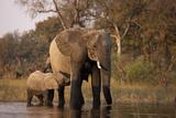 Calf Suckling from Mother in Spillway in Northern Botswana Fotodruck von Beverly Joubert