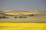 Flowering Canola Fields Mixed with Green Wheat Fields and Rolling Hills Photographic Print by  Design Pics Inc
