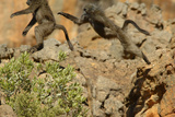 Two Baboons Leaping in Cederberg Wilderness Area, South Africa Photographic Print by Keith Ladzinski
