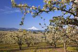 Apple Blossom Trees Fotografisk tryk af  Design Pics Inc
