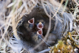 Closeup of Lapland Longspur Chicks Photographic Print by  Design Pics Inc