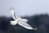 A Snowy Owl, Bubo Scandiacus, Flies over the Wintry Coast of Maine Fotografisk tryk af Robbie George