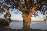 A Eucalyptus Tree Overlooking the Santa Barbara Channel Photographic Print by Macduff Everton