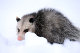 A Virginia Opossum, Didelphis Virginiana, Crouches in the Snow in Portland, Maine Photographic Print by Robbie George