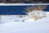 A Snowy Owl, Bubo Scandiacus, Blends into the Winter Landscape on the Coast of Maine Photographic Print by Robbie George