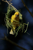 A Cape Weaver Bird Builds a Nest in South Africa Photographic Print by Keith Ladzinski