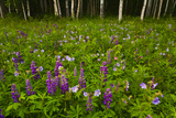 Scenic of a Birch Forest with a Lupine and Wildflower Meadow Photographic Print by  Design Pics Inc