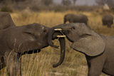 Two Young Elephants Play Sparring in Northern Botswana Photographic Print by Beverly Joubert