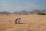 A Cape Ground Squirrel, Xerus Inures, on the Look Out in Solitaire, Namibia Photographic Print by Alex Saberi
