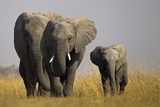 Elephant Herd Walking in Northern Botswana Photographic Print by Beverly Joubert