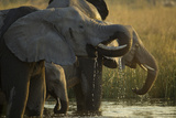 Close Up Elephant Herd Drinking in Spillway in Northern Botswana Photographic Print by Beverly Joubert