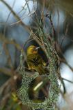 A Cape Weaver Bird Builds a Nest in South Africa Reproduction photographique par Keith Ladzinski