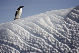 An Adelie Penguin Walks on an Iceberg Eroded by Wind Photographic Print by Jim Richardson