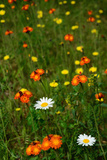 Orange Hawkweed Flowers, Daisies, and Dandelions in a Meadow Photographic Print by Darlyne A. Murawski