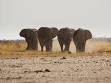 A Herd of Bull Elephants in Etosha National Park Photographic Print by Alex Saberi