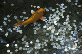 A Koi Fish Swims Above a Pile of Coins in a Pond Fotografisk tryk af Joel Sartore