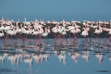 A Flock of Greater Flamingos Near Walvis Bay, Namibia Photographic Print by Alex Saberi