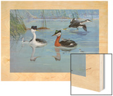 A Painting of Two Species of Grebe and their Chicks Wood Print by Allan Brooks