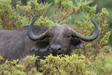 A Cape or African Buffalo, Syncerus Caffer, Hiding in the Bush Photographic Print by Sergio Pitamitz