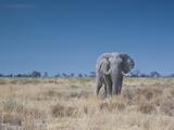 A Bull Elephant, Loxodonta Africana, Stares at the Camera in Etosha National Park Photographic Print by Alex Saberi