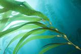 A Kelp Forest Fotografisk tryk af Cesare Naldi