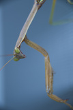 A Praying Mantis Photographic Print by Michael Melford