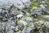 Mountain Goat on Gloomy Knob Photographic Print by Rich Reid