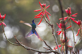 A Swallow-Tailed Hummingbird, Eupetomena Macroura, Feeding from Coral Tree Flowers Photographic Print by Alex Saberi