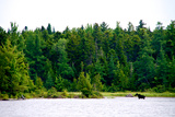 A Moose, Alces Alces, Wading in a Pristine Lake Bordered by and Evergreen Forest Photographic Print by Heather Perry