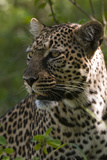 Close Up Portrait of a Leopard, Panthera Pardus Photographic Print by Sergio Pitamitz