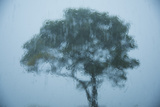 A White Oak Tree Seen Thru Rain-Covered Glass Photographic Print by Michael Melford