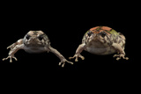 Endangered Malagasy Rainbow Frogs at the National Mississippi River Museum and Aquarium Photographic Print by Joel Sartore