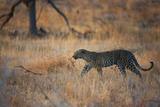 A Leopard, Panthera Pardus Pardus, Walks Through Grassland Aglow in the Setting Sun Fotografie-Druck von Alex Saberi