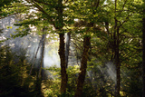 Light Beams Penetrate Birch Trees in Fundy National Park Photographic Print by Darlyne A. Murawski
