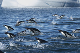 Adelie Penguins Swim in a Group Off of Paulet Island Photographic Print by Jim Richardson