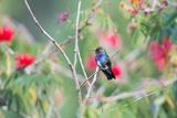 A White-Chinned Sapphire Hummingbird (Hylocharis Cyanus) Perches on a Branch in Brazil Photographic Print by Alex Saberi
