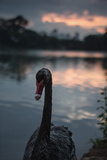 A Portrait of a Black Swan in Ibirapuera Park, Sao Paulo, Brazil Photographic Print by Alex Saberi