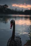 A Portrait of a Black Swan in Ibirapuera Park, Sao Paulo, Brazil Photographic Print by Alex Saberi