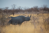 A Black Rhinoceros, Diceros Bicornis, Feeds Off a Spiny Acacia Bush at Sunset Photographic Print by Alex Saberi