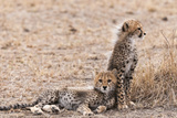 Portrait of Two Cheetah Cubs, Acinonyx Jubatus, Resting Photographic Print by Sergio Pitamitz