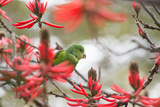 A Plain Parakeet, Brotogeris Tirica, Perching in a Coral Tree in Ibirapuera Park Photographic Print by Alex Saberi