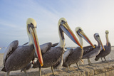 A Group of Peruvian Pelicans, Pelecanus Thagus, Sitting on a Seawall Photographic Print by Mike Theiss