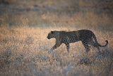 A Leopard, Panthera Pardus Pardus, Walks Through Grassland Aglow in the Setting Sun Photographic Print by Alex Saberi
