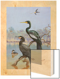 A Painting of a Water Turkey, Mexican Cormorant and a Mexican Grebe Wood Print by Allan Brooks