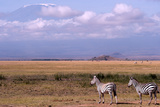 Mount Kilimanjaro Looms Above Zebras Razing in Amboseli National Park Photographic Print by Shannon Switzer