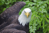 Captive Bald Eagle at the Sitka Raptor Recovery Center Photographic Print by Rich Reid