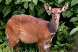 A Lone Bushbuck Stands Alert in the Forest Near Kenya National Park Photographic Print by Shannon Switzer