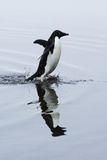 An Adelie Penguin Runs in Shallow Water on Devil's Island Photographic Print by Jim Richardson
